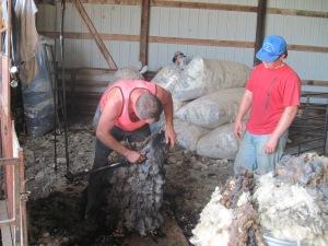 Shearing Merinos - 5-7-2014 (10)