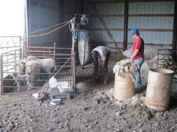 Shearing Merinos - 5-7-2014 (3) - Copy