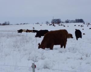 Cattle grazing through snow  - strip grazing stockpiles forage