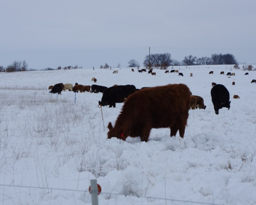 Cattle grazing through snow  - strip grazing stockpiles forage