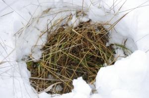 9  grazing under the snow - Copy
