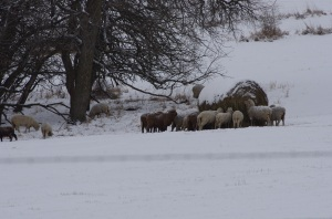 Sheep bale grazing near a small patch of timber.