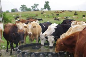 TMF cattle 25 jun 13 (8) small