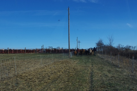 All the cows and calves moving into the corral.