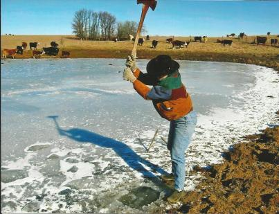 Cattle chopping ice