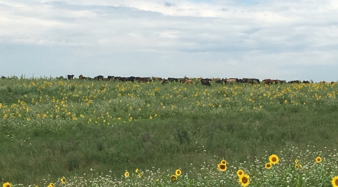 Cows on the Annuals