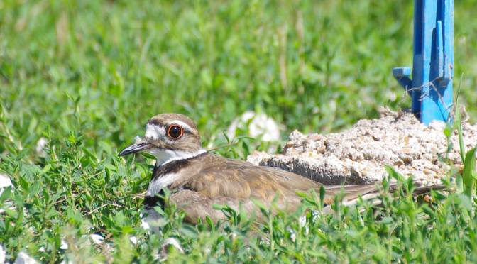 Killdeer Mama!