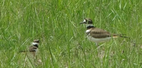 Killdeer mom and baby 2014 (2) - Copy