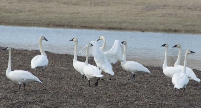 Wildlife Walkabout – Trumpeter Swan