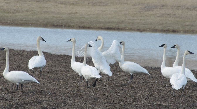Wildlife Walkabout – Trumpeter Swan