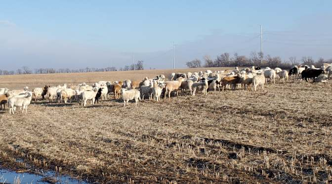 Grazing Soybean Stubble